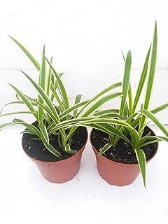 Best reverse variegated spider plant Reviews