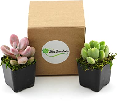 Shop Succulents   Mixed Collection   Assortment of Hand Selected, Fully Rooted Live Indoor Succulent and Air Plants, 2-Pack