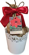 Amaryllis Holiday Gift Growing Kit, Deluxe Edition. Includes a Pure White Tin Pot, Big Red Lion Bulb in a Attractive Burlap Bag with Red Bow, and Professional Growing Medium