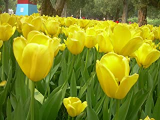 Yellow Tulip Bulbs(6 Bulbs) Hot Sale Perennials Exquisite Cute Flowers Bonsai Very Hardy