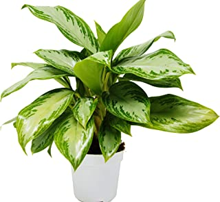 Chinese Evergreen 'Silver Bay' - 4