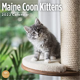 2022 Maine Coon Kittens Wall Calendar by Bright Day, 12 x 12 Inch, Cute Kitty Cat