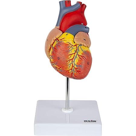 Axis Scientific Heart Model Réplica De Corazón Humano De 2 Partes De Tamaño Real Con 34 Estructuras Anatómicas Sostenida Junto Con Imanes Incluye Base De Visualización Montada Manual Detallado Del Producto