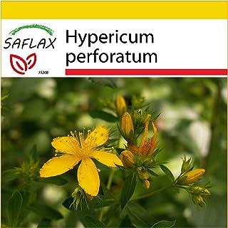 SAFLAX - Set de cultivo - Hierba de San Juan - 300 semillas - Con mini-invernadero, sustrato de cultivo y 2 maceteros - Hypericum perforatum