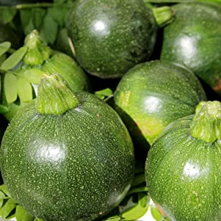 Eight Ball Hybrid Zucchini Summer Squash Garden Seeds - 100 Seeds - Non-GMO - Vegetable Gardening Seed