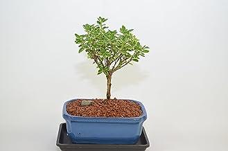 Celestial Bonsai Amazon Com Indoor Bonsai