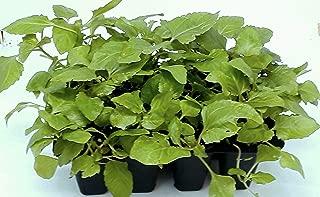 Szechuan Flower Plant (Buzz Buttons) Grow Kit: Your kit Will Include Both Lemon Drop and Bulls Eye Seeds 50/50- Open/Water/Watch.