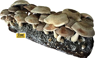 Root Mushroom Farm Shiitake Mushroom Growing Kit