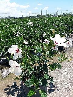 Hibiscus rosa-sinensis 'White Wings', Tropical Hibiscus - 3G Live Plant - Bush