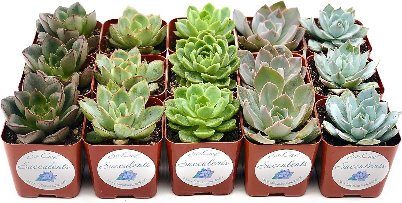 SoCal Succulents Popular popular - Outstanding 15 Succulent Varieties an in Rainbow Rosettes