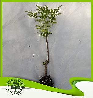 Melia azedarach (Chinaberry tree) - Plant
