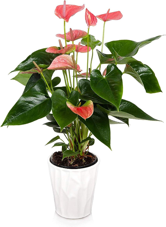 Just Add Ice JAI261 Anthurium Easy Care Live Plants, 5