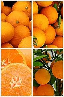 Homegrown Orange Seeds, 20, Clementine Mandarin