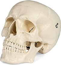 Medical Anatomical Skull Model - 3 Parts - Life Sized Human Mold
