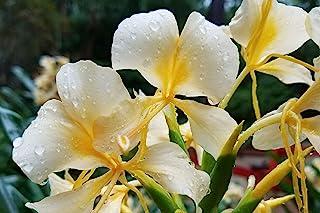 Delightfully Fragrant White Butterfly Ginger ~ Live Rhizome ~ Bare Root