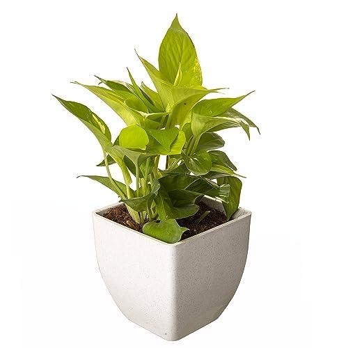 Exotic Green Indoor Oxygen & Air Purifier Plant Golden Pothose In Fiber Pot
