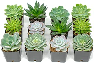 Succulent Plants | 12 Echeveria Succulents | Rooted in Planter Pots with Soil |Real Live Indoor Plants | Gifts or Room Decor by Plants for Pets