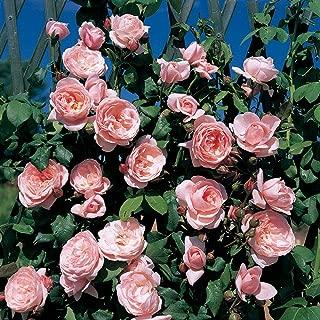 Pianta di Pandorea Jasminoides Pianta Rampicante giardino balcone vaso 7