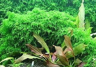 Hot Sale! Xmas Moss-Live Aquarium Brackish Water Fish Tank Plant
