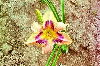 Paper Butterfly Daylily: 10 Bareroot Hemerocallis 1-2 Fans Tennessee Grown