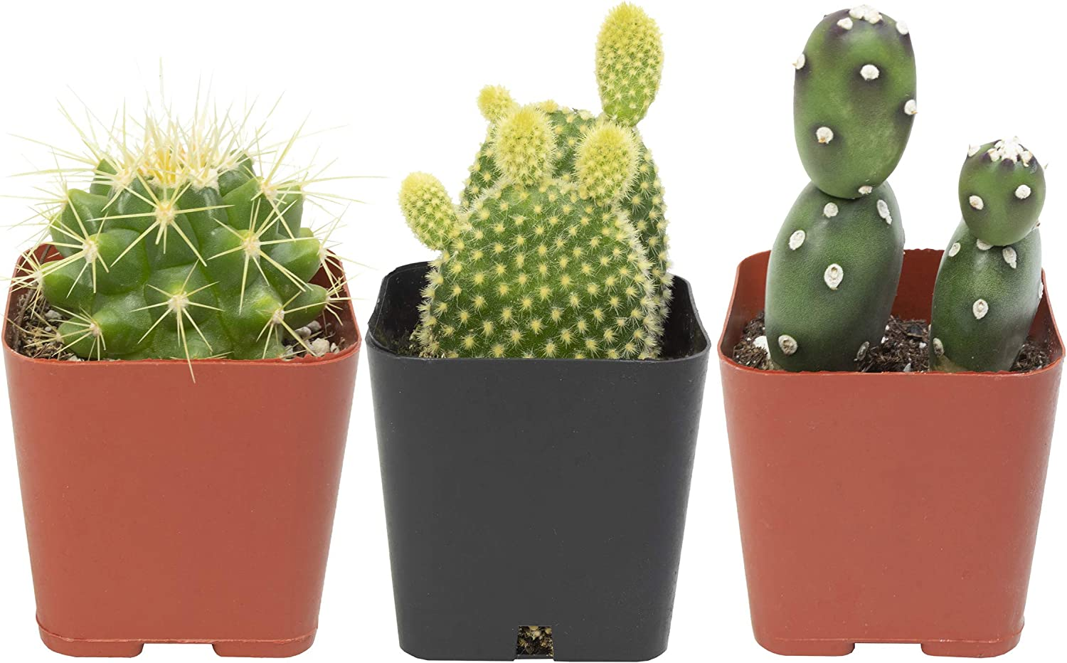 Shipping included Cactus Plants Mix of 3 Cact Live in Ranking integrated 1st place Mammillaria