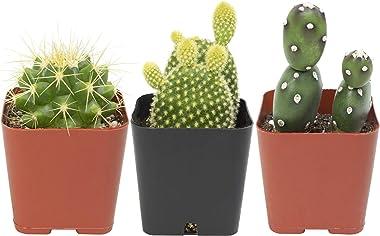 Cactus Plants (Mix of 3), Mammillaria Cactus Plants Live in Cactus Soil, Opuntia Cactus Live Plants, Cacti Plants Live, Cactu