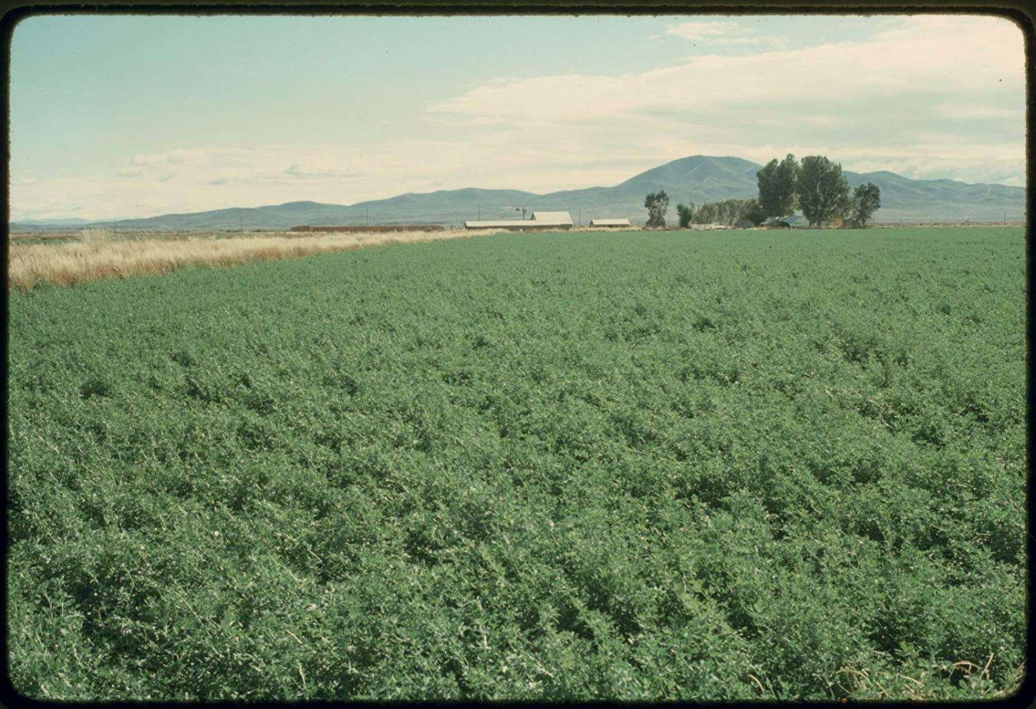 5 lbs. Alfalfa Seed Wildlife Food gift Manufacturer direct delivery Deer Plot Cover P Crop