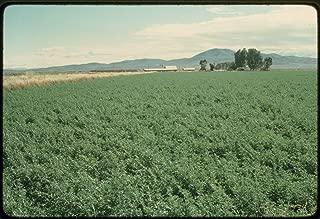 alfalfa chop