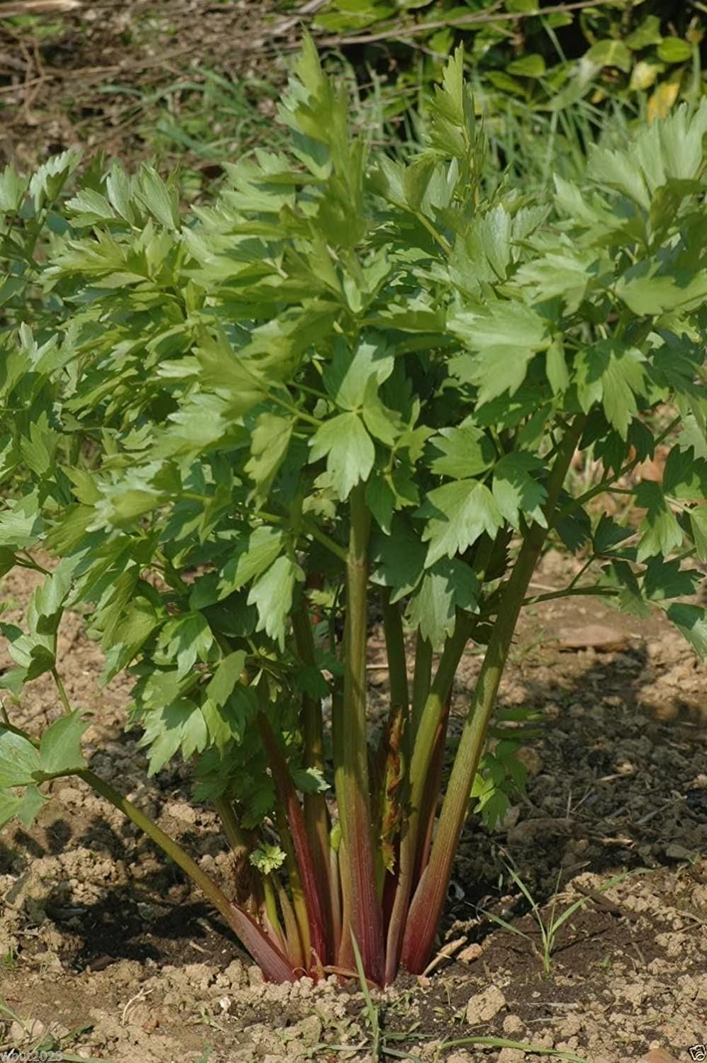 Lovage Herb- 500 Seeds Omaha Mall Officinalis Levisticum long-lived Popularity hardy