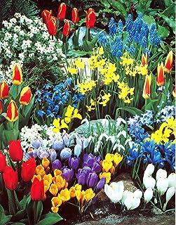 باغ پیاز گل بهاری کامل - 50 پیاز برای 50 روز شکوفه مداوم (رنگ بهار از مارس تا ژوئن) - پیاز کاشت آسان برای پاییز توسط ویلارد و می