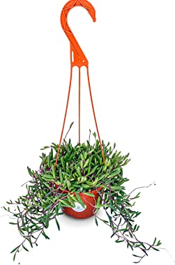 """String of Pickles Succulents in 6"""" Hanging Pot Othonna Capensis"""