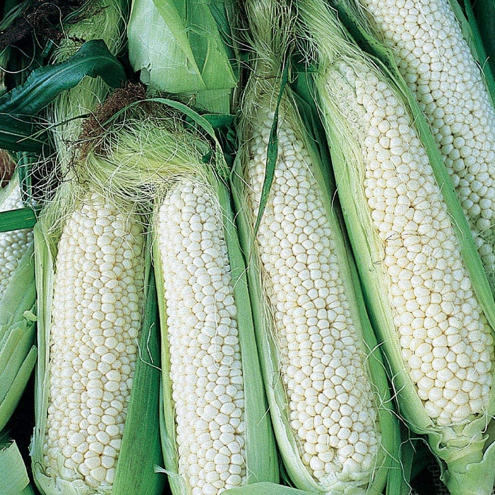 5 ☆ very popular PAPCOOL CountryGentleman Sweet Corn Plạ for SẸẸDS Sales of SALE items from new works