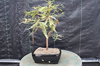 Bald Cypress Bonsai Tree