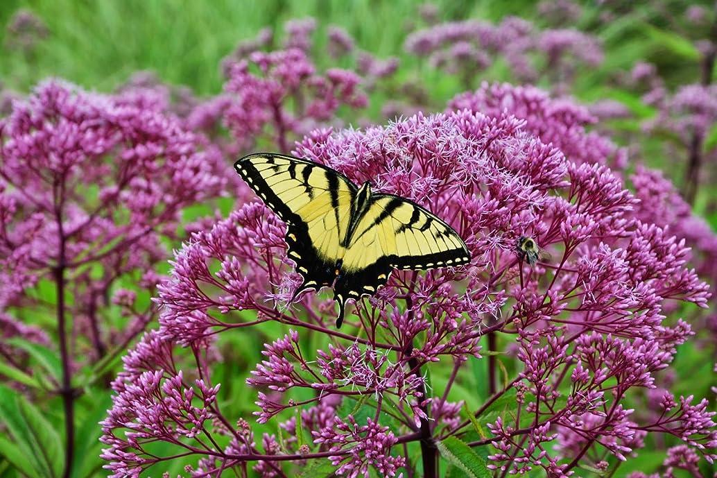 joe pye weed PINK flower, ATTRACTS BUTTERFLIES, 120 seeds