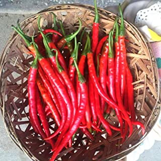 C-LARSS 100 Stück/Beutel Chili Seeds, Non GMO Leicht Zu Züchten Rot Voller Vitalität Gemüsesamen Für Den Garten Peperoni-Samen