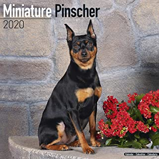 Miniature Pinscher Calendar 2020 - Dog Breed Calendar - Wall Calendar 2019-2020