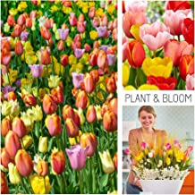 Plant & Bloom Tulip Flower Bulbs from Holland, 35 Bulbs - Tulip Darwin Hybrid Mixed Colours - Easy to Grow - for Fall Planting in Your Garden - Top Dutch Quality - Orange, Pink Blooms - Landscape Bag