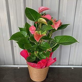 アンスリウム5号鉢ピンク 高さ約50~60cm かごラッピング付き観葉植物