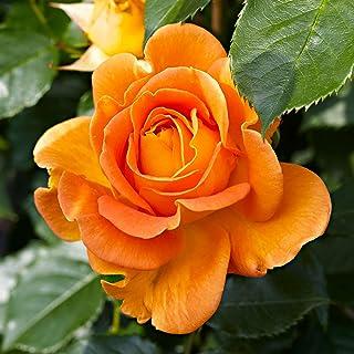 """Rosa""""Jamie""""   Kletterrosen winterhart mehrjährig duftend   Orange Rosen.."""