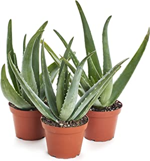 aloe barbadensis miller plant for sale
