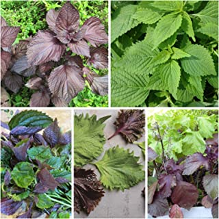 Mixed SHISO Perilla 200 Seeds ~ Japanese Green, Red (Purple) 2 Packs