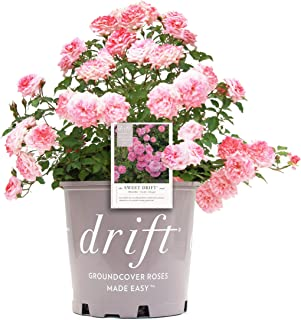 Star Roses Sweet Drift Groundcover Rose - Rose Drift Sweet - 19cm