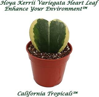 Hoya Kerrii Variegated (Single Leaf) - 4