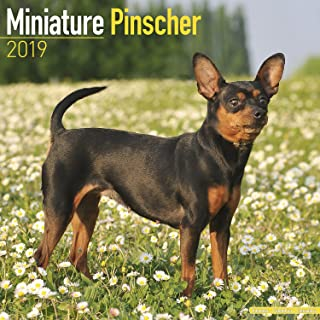 Miniature Pinscher Calendar - Dog Breed Calendars - 2018 - 2019 Wall Calendars - 16 Month by Avonside