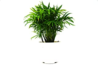 "Parlor Palm in 4"" Pot - Live Indoor Plant - FREE Care Guide"