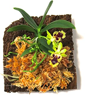 Miniature Orchid: Haraella retrocalla with Flower Spike, Tree Fern Mounted, Blooming Soon.