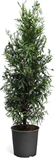 Brighter Blooms - Thuja Green Giant Arborvitae Tree - Privacy Trees, 5-6 Feet - Cannot Ship to AZ