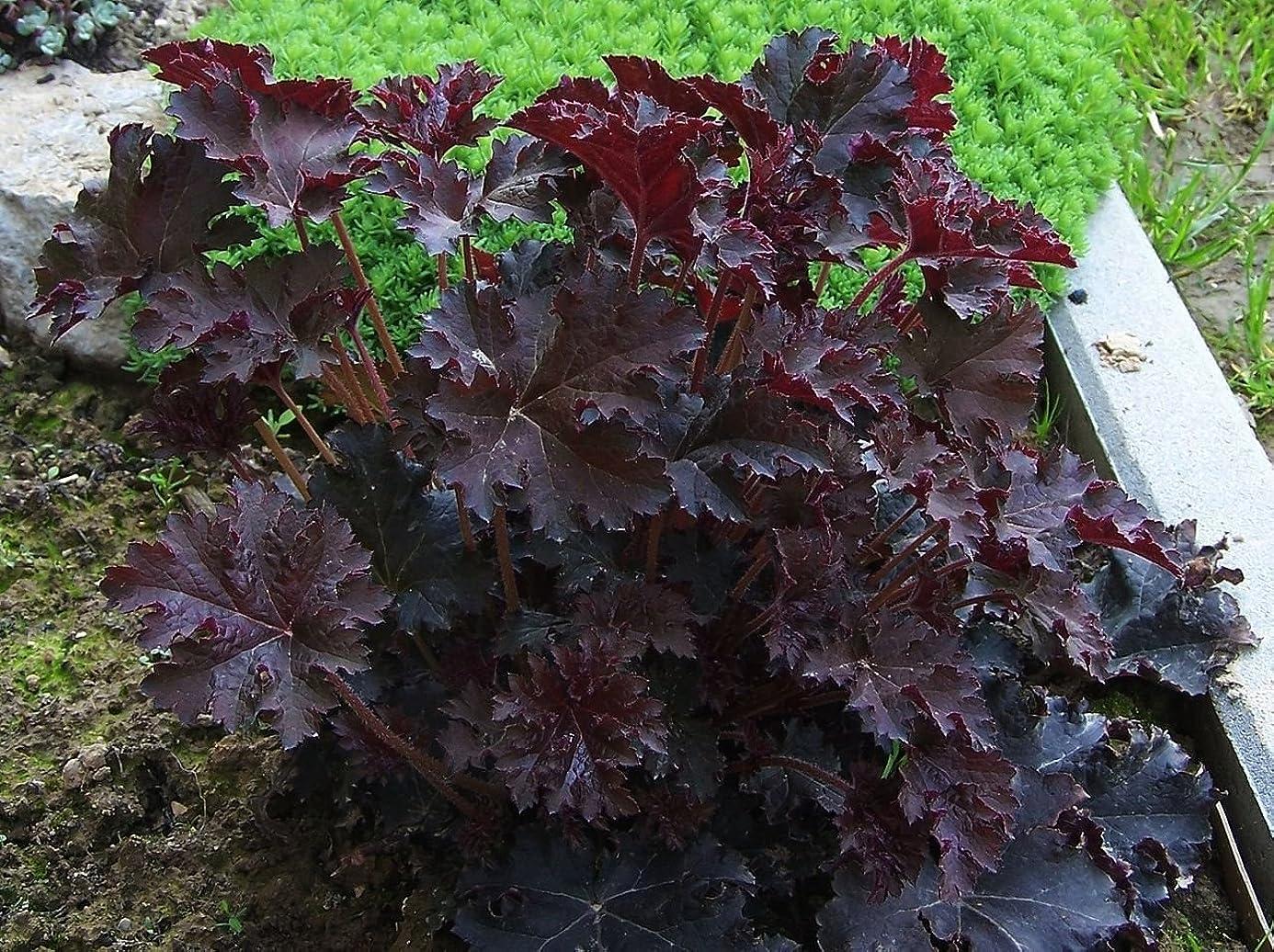 Live Coral Bells aka Heuchera micrantha 'Palace Purple' Plant Fit 1 Gallon Pot