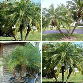 Robellini Live Palms Phoenix roebelenii Pygmy Date Palm Rooted Starter Plants GND075