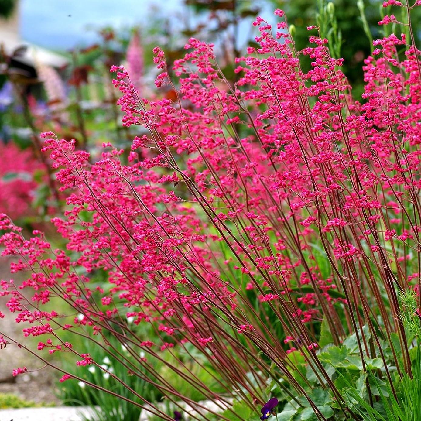 Coral Bells seeds - Heuchera sanguinea